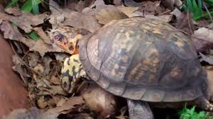 sparky box turtle care bugs in habitat youtube