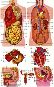 Human Anatomy Upper Body Inner Body Archives Page 24 Of 73 Human Anatomy Chart