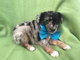 australian shepherd 6 weeks old australian shepherd puppy for sale in ephrata pa adn 40481 on