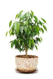 tree like house plants home design ideas