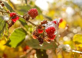 free picture fruit branch tree macro berry leaf nature