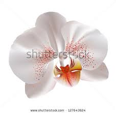 White Orchid Flower White Orchid Flower Stock Images Royalty Free Images U0026 Vectors