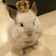 767 best chinchilla 3 images on chinchillas rodents