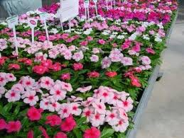 vinca flowers 61 best vinca flowers images on flower gardening
