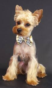 yorkie teddy bear face haircut asian freestyle groomer to groomer pet grooming news stories