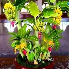 mini banana tree 100pcs rare dwarf banana tree seeds mini bonsai garden plant dwarf