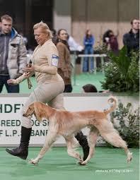 afghan hound breeders victoria 69 best afghan hounds images on pinterest afghans afghan hound