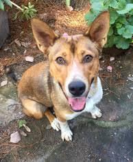 australian shepherd qld view ad texas heeler dog for adoption california san diego usa