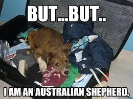 Australian Meme - miniature australian shepherd meme google search dogs