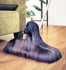8 month old afghan hound psbattle this afghan hound photoshopbattles
