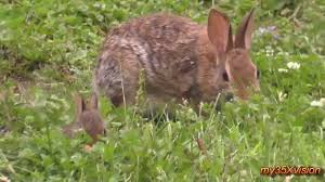 little bunny and his mom in my garden cute cottontail rabbit