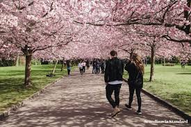 three places to see cherry blossoms in copenhagen