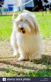 bearded collie x terrier bearded collie dog on grass bearded collies pet dogs laying down