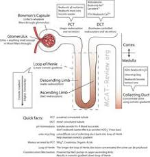 Kidney Anatomy And Physiology Video Nephron Classes Cortical And Juxtamedullary Anatomy