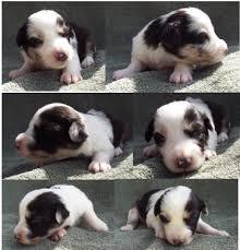 3 week old australian shepherd puppy paris u0027s spring litter 3 pup4 blue eyed blue merle harlequin female