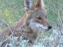 what do coyotes eat u2013 tjs garden