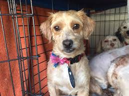 maltese dogs rescued from u0027backyard breeder u0027 ready for adoption