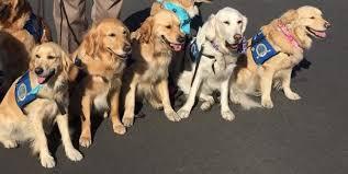 Comfort Golden Comfort Dogs In Las Vegas First Responders To Las Vegas Shooting