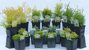 pack mixed hebe in 9cm pots evergreen borders shrubs trees rock
