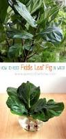 Indore Plants All About Fiddle Leaf Fig Care Tips And Easy Propagation Fiddle