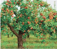 how to prune an apple tree quarto homes