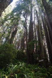 lightning tree picture of trees of mystery klamath tripadvisor