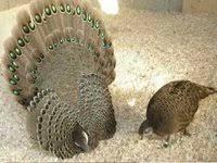 2 grey peacock pheasant hatching eggs for sale backyard