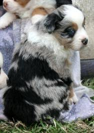 south texas australian shepherd rescue texas miniature toy aussie australian shepherds puppies for sale