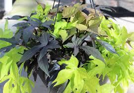 ipomoea sweet potato vine