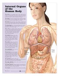Human Anatomy Thyroid Anatomy Organ Pictures Female Human Anatomy Organs Images