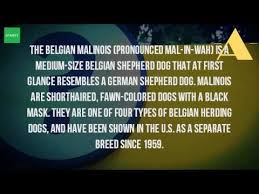 belgian malinois energy what is a belgian malinois dog breed youtube