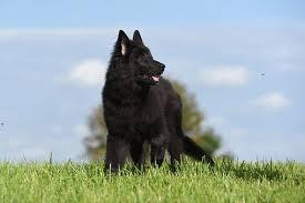 belgian shepherd size belgian shepherd dog free pictures on pixabay