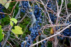 gardening 101 wild grape vine gardenista