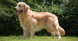 Comfort Retriever Puppies For Sale The Miniature Golden Retriever What Is It Exactly