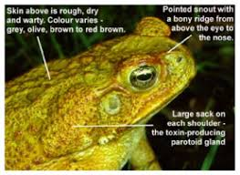How To Get Rid Of Cane Toads In Backyard Control Cane Toads Bufo Marinus
