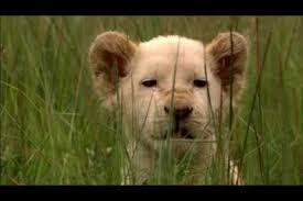 imagenes de leones salvajes gratis leones salvajes africanos archivos documentales online gratis en