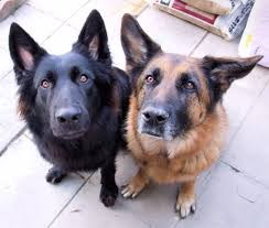 belgian sheepdog origin 24 best german shepherd pictures and photos