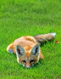 sleeping red fox wallpapers 61 best fox images on pinterest fox illustration red fox and