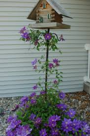 best 25 clematis flower ideas on pinterest clematis plants