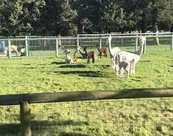 country estates chion alpacas b b terrebonne oregon alpaca country estates