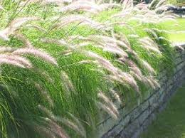 ornamental grasses lovetoknow