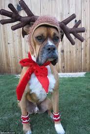 boxer dog xmas santa paws the 17 best dog christmas on the internet