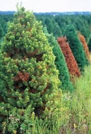 Pine Tree Browning In Middle – How To Save A Dying Pine Tree