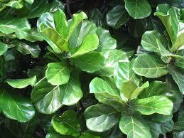 plants flowers fiddle leaf fig