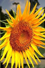 best 25 planting sunflower seeds ideas on pinterest growing
