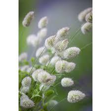 lagurus ovatus bunny s grass