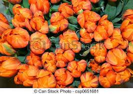 Fowers Stock Photography Of Beautiful Tulip Fowers Beautiful Tulip
