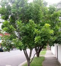 native plants brisbane the best trees to plant in brisbane b and r tree services