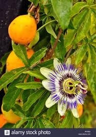 fruit and flowers fruit and flowers on growing passiflora or flower up a