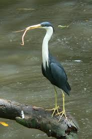 Heron Meaning by Pied Heron Egretta Ardea Picata